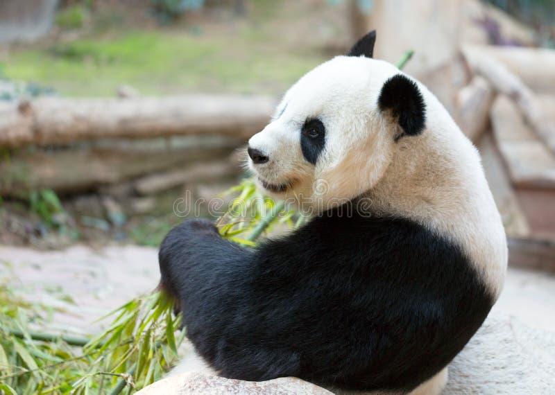 De panda draagt Portret royalty-vrije stock afbeelding