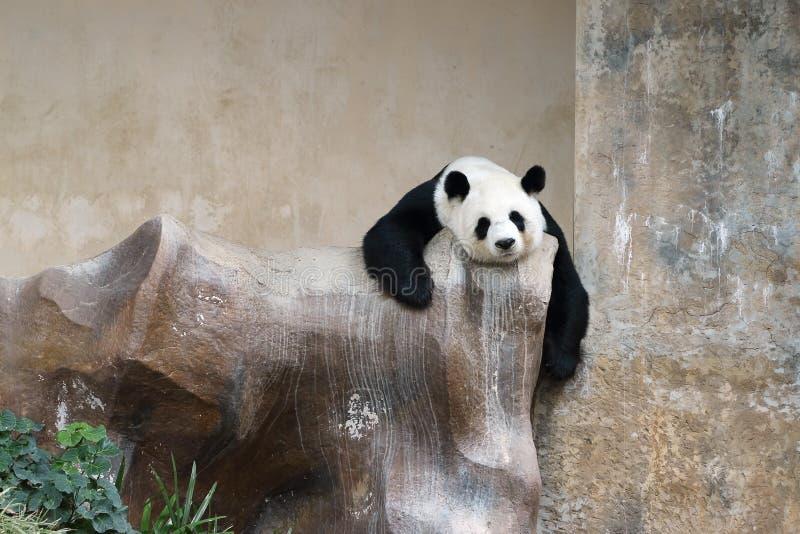 De panda draagt rustend stock afbeeldingen