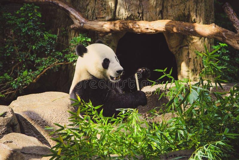 De panda draagt zittend en etend bamboe in een dierentuin royalty-vrije stock foto