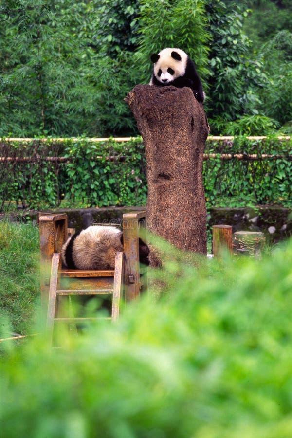 De Panda's van de baby stock afbeelding