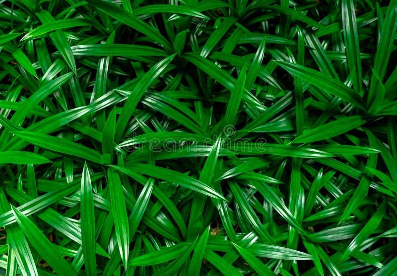 de pandan achtergrond van de bladerentextuur Groene bladeren met mooi patroon in wildernis voor organisch concept Natuurlijke ins stock afbeeldingen