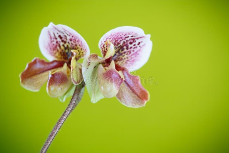 De pantoffelorchidee van de dame stock fotografie