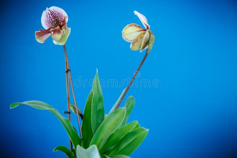 De pantoffelorchidee van de dame royalty-vrije stock foto