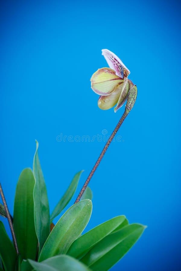 De pantoffelorchidee van de dame royalty-vrije stock afbeeldingen