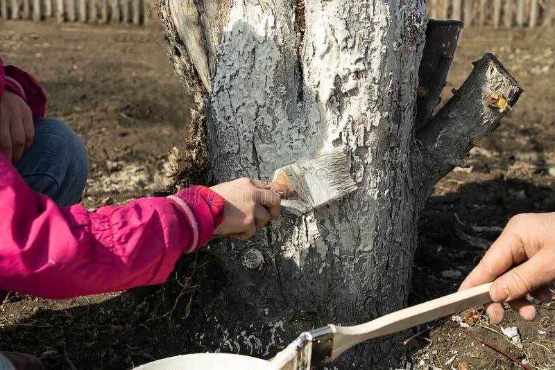 De papa en de dochter behandelen bomen behandelen de boom met witte verf voor bescherming Het werk in de tuin in de de lenteherfs royalty-vrije stock afbeeldingen