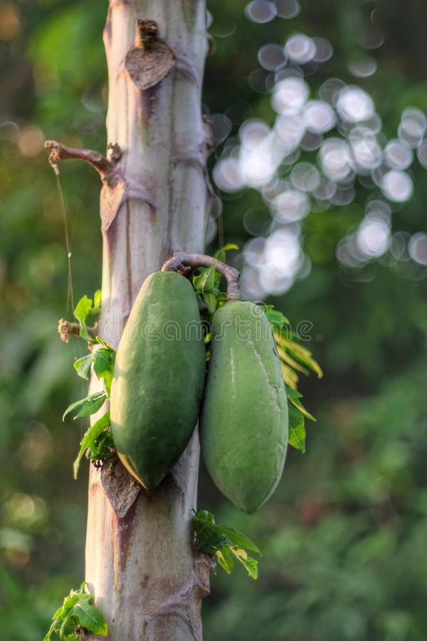 De papaja is gezond stock afbeeldingen