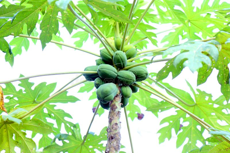 De papajaboom is een medische boom royalty-vrije stock afbeelding