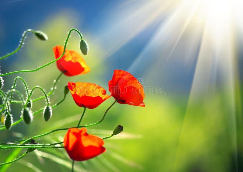 De papaver bloeit de lenteachtergrond van de gebiedsaard stock afbeeldingen