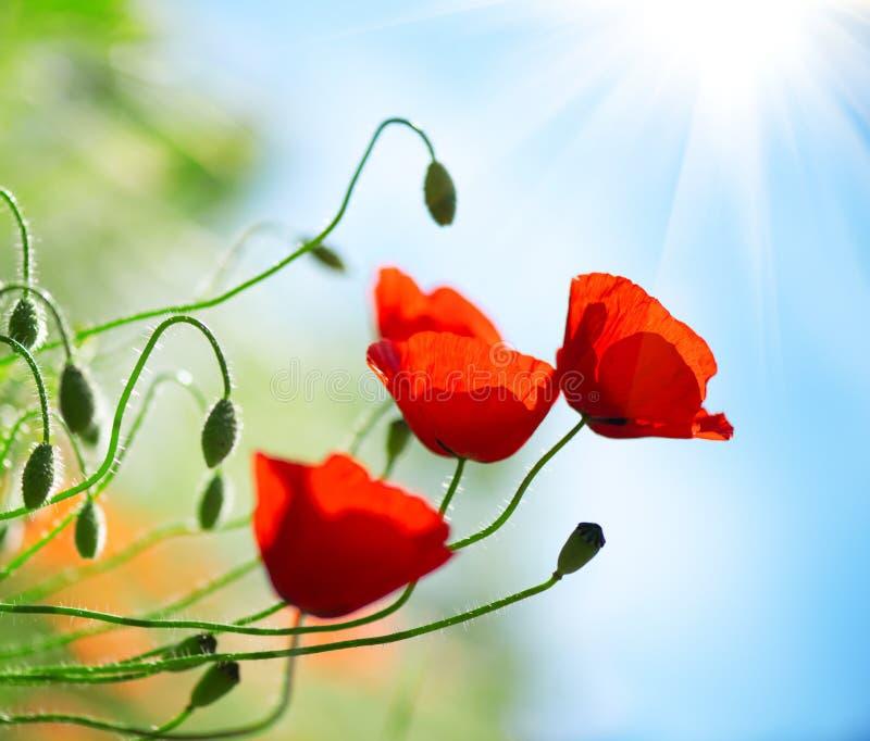 De papaver bloeit de lenteachtergrond van de gebiedsaard royalty-vrije stock foto