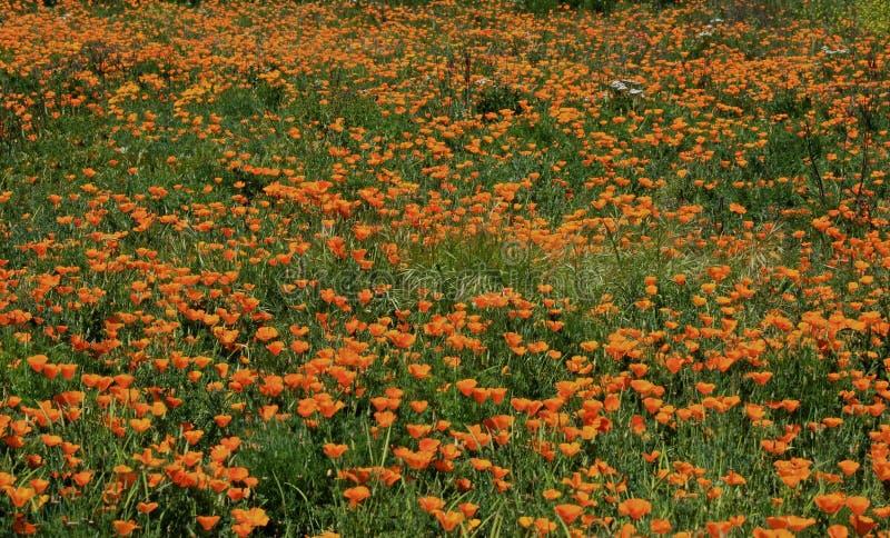 De papaver bloeit sinaasappel stock foto's