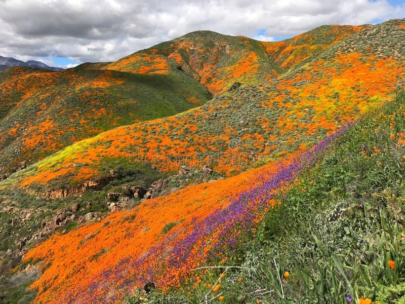 De papaver super bloei van Californië stock afbeelding