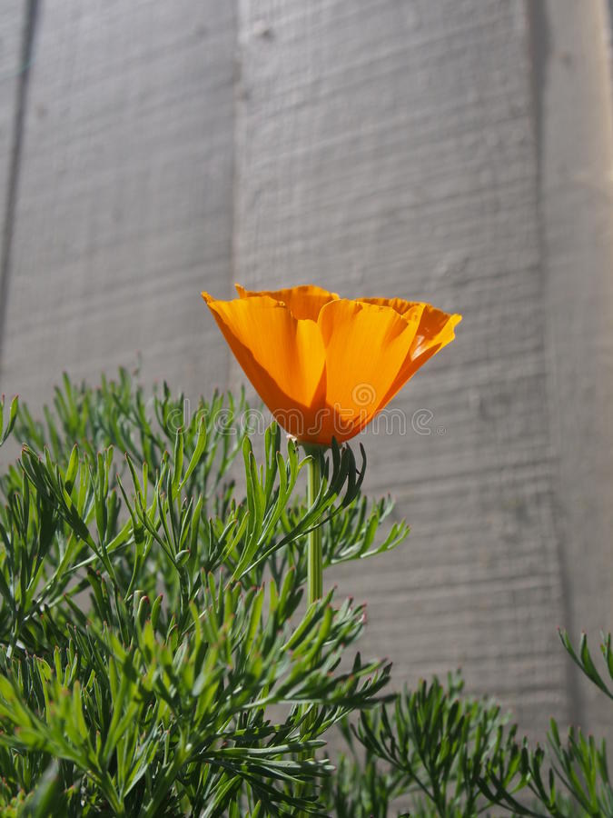 De papaver van Californië stock fotografie