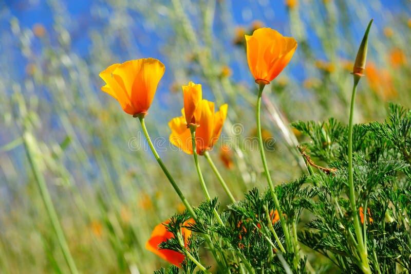 De Papaver van Californië en Wilde Grassen stock afbeeldingen