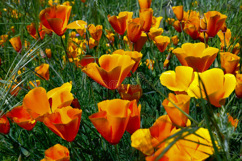 De papaver van Californië, eschscholziacalifornica royalty-vrije stock foto's