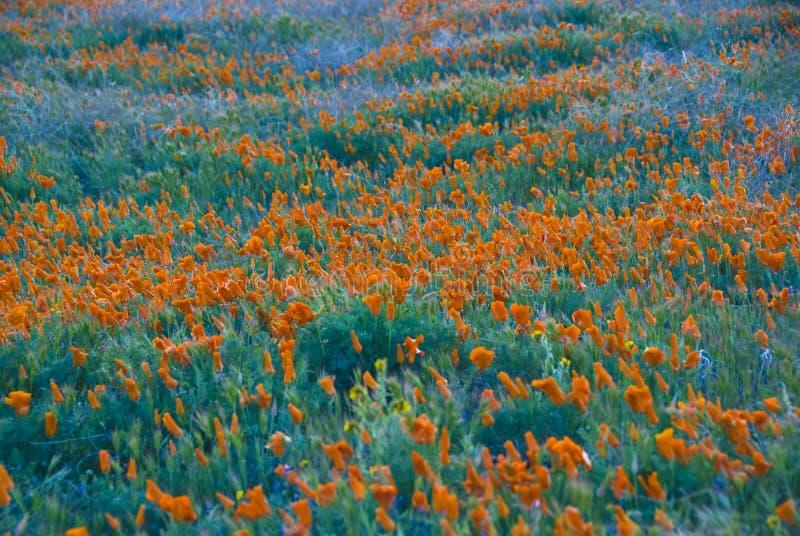 De papavers van Californië stock afbeelding