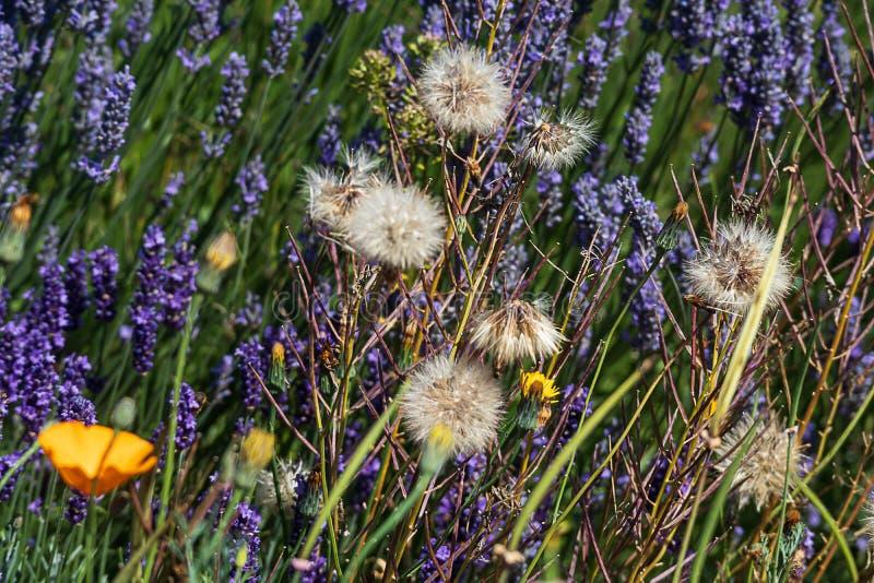 De papavers van Californië, paardebloemen, van het paardebloemenzaad peulen, en lavendelaren royalty-vrije stock afbeeldingen