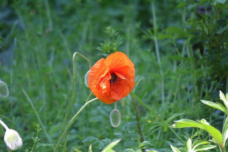 De papavers zijn bloeiend Groene Weide De lente stock afbeeldingen