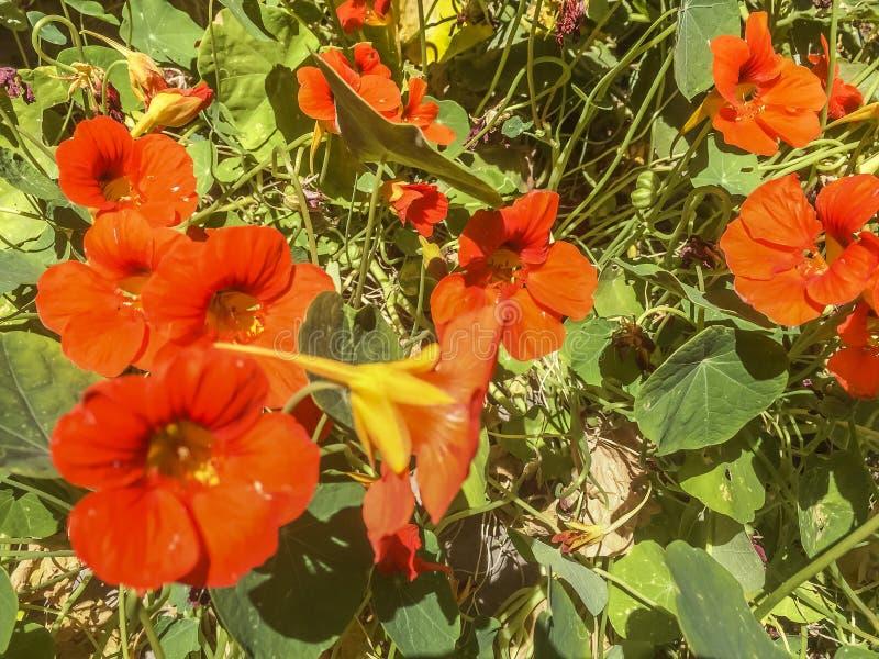 De Papaversbloemen van Californië royalty-vrije stock fotografie