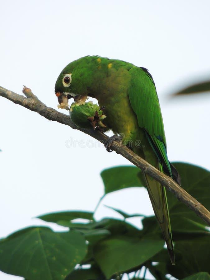 De papegaai en de guave royalty-vrije stock fotografie