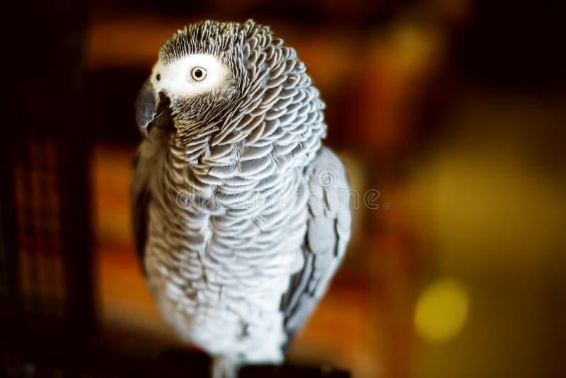 De papegaai ook genoemd van de Kongo Afrikaanse grijze jaco stock foto's