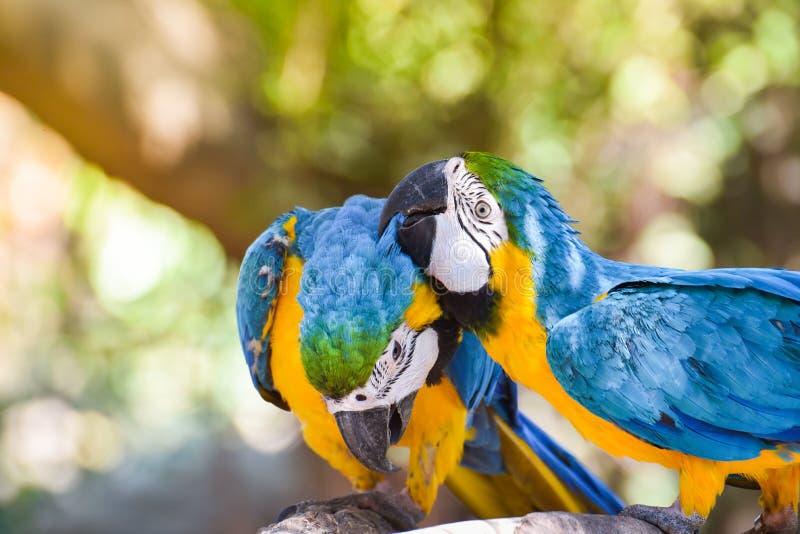 De papegaai van aravogels stock foto's