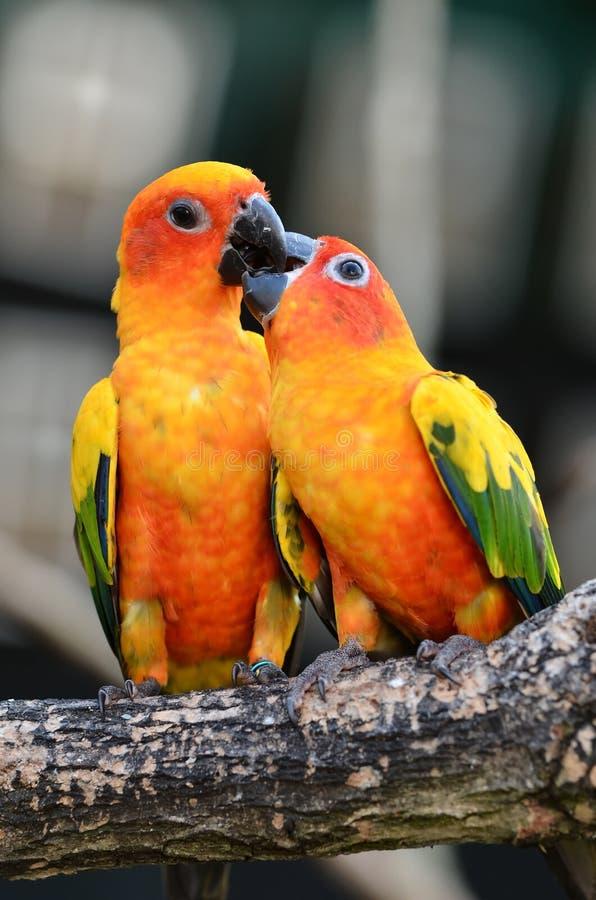 De Papegaai van Conure van de zon stock afbeelding