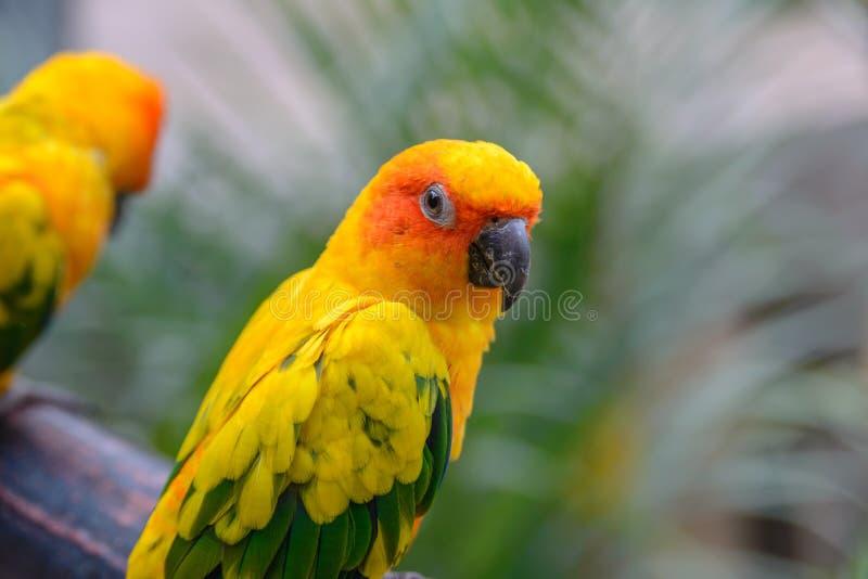 De Papegaai van Conure van de zon stock afbeeldingen