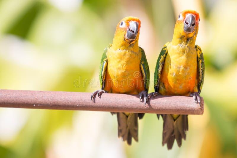 De Papegaai van Conure van de zon royalty-vrije stock afbeeldingen