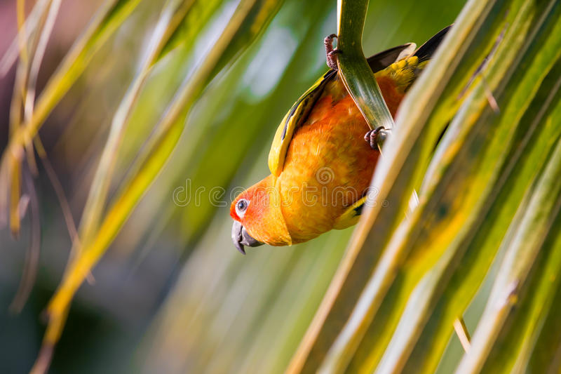 De Papegaai van Conure van de zon stock fotografie