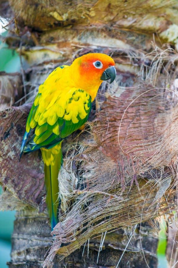 De Papegaai van Conure van de zon royalty-vrije stock afbeelding