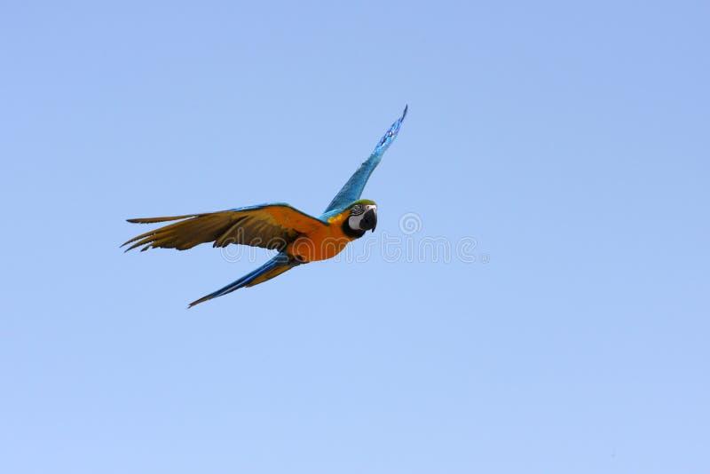 De papegaai van de ara tijdens de vlucht