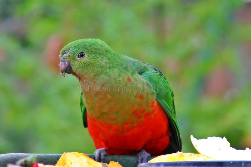 De Papegaai van de koning stock fotografie