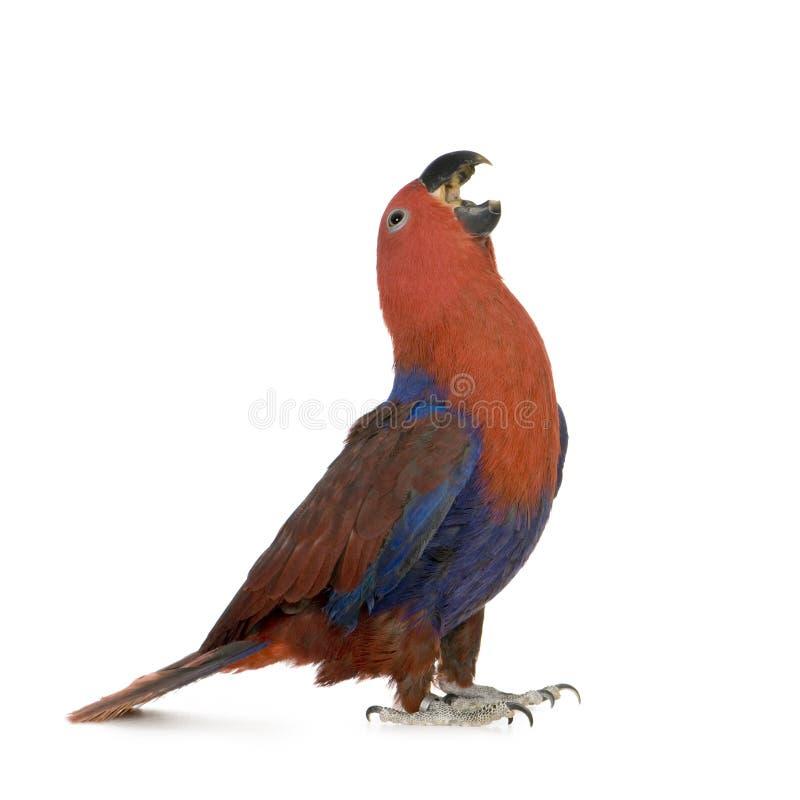 De Papegaai van Eclectus - roratus Eclectus (1 jaar) stock afbeelding