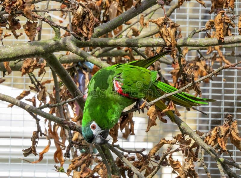 De papegaai van de Hahn` s ara buiten in een vogelhuis die van zonneschijn genieten royalty-vrije stock fotografie