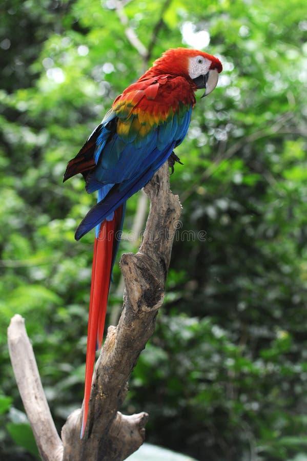 De papegaai van Macao van Arara royalty-vrije stock foto's