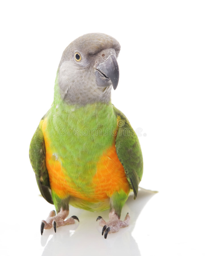 De Papegaai van Senegal stock foto