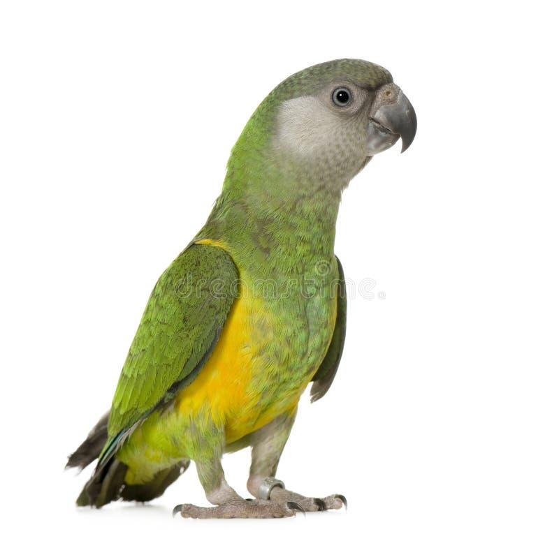 De Papegaai van Senegal - senegalus Poicephalus royalty-vrije stock afbeeldingen