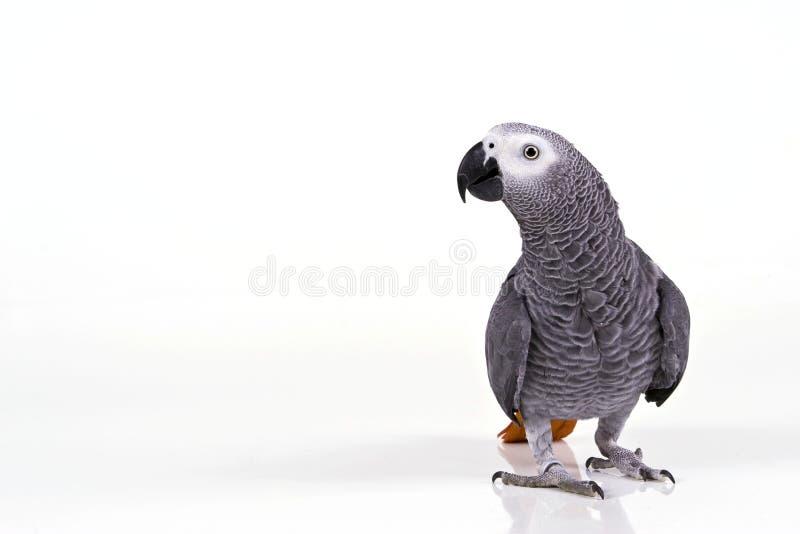 De papegaai van Supprised stock afbeelding