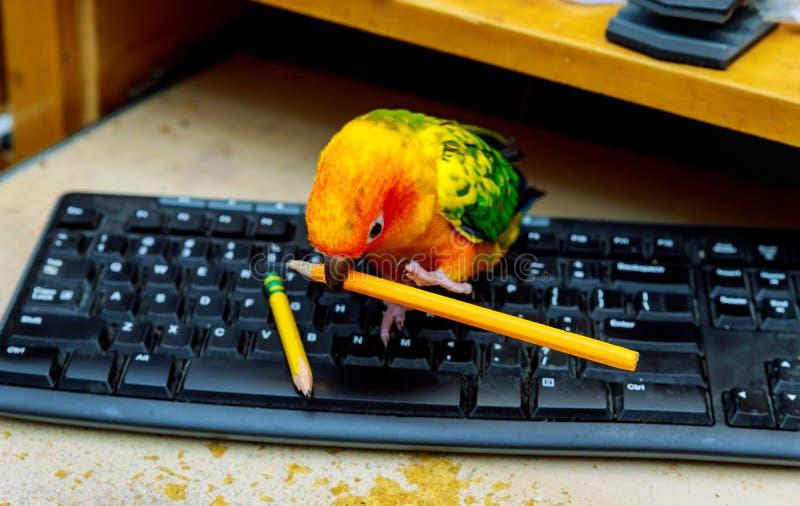 De papegaai zit op het toetsenbord en de holding een potlood stock afbeeldingen