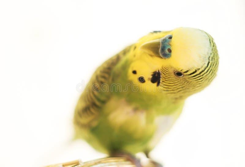 De papegaai zit op kooi Groene dichte omhooggaand van de grasparkietpapegaai zit op ca stock afbeelding
