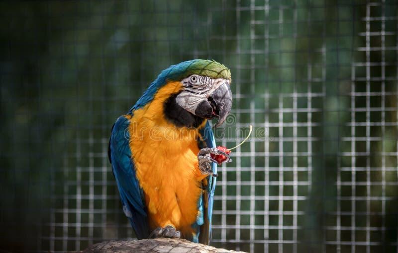 De papegaaiaronskelken eet kers en zit op een tak royalty-vrije stock fotografie