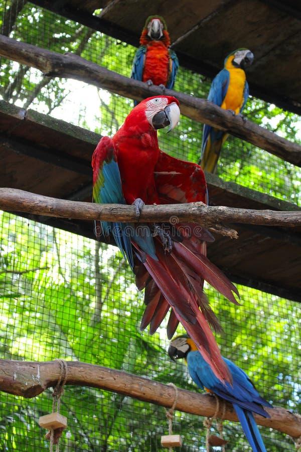 De papegaaibijlage met rode ara's bij vogelpark in Foz doet Iguacu, Brazilië royalty-vrije stock foto