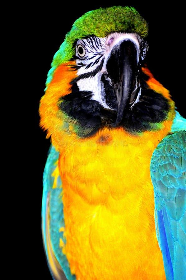 De papegaaiportret van aronskelken stock fotografie