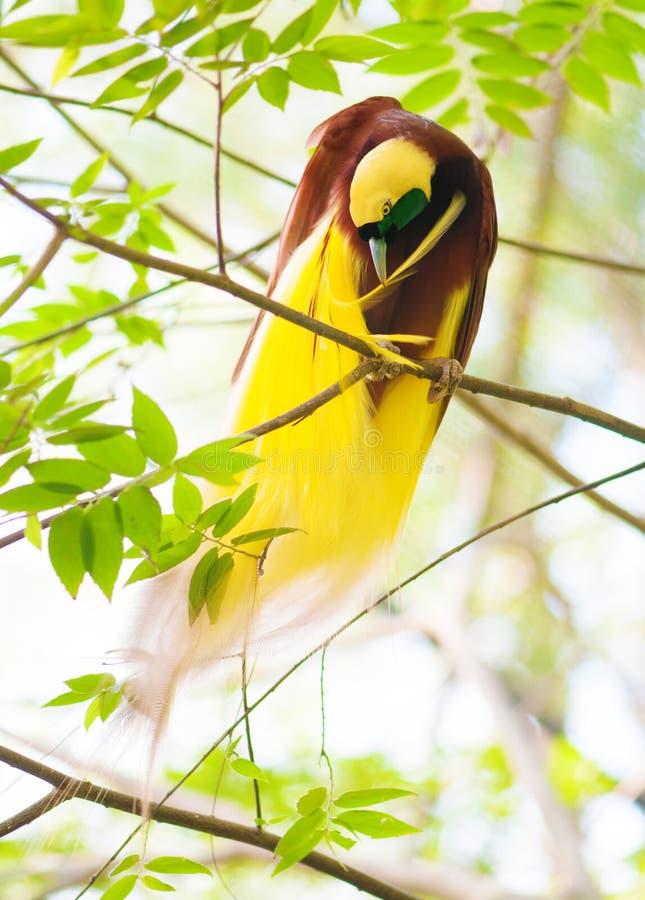 De paradijsvogel Maakt veren schoon stock fotografie