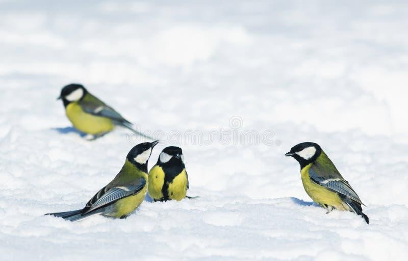 De partij van grappige kleine vogelschickadees werd gevonden op wit Sn stock afbeelding