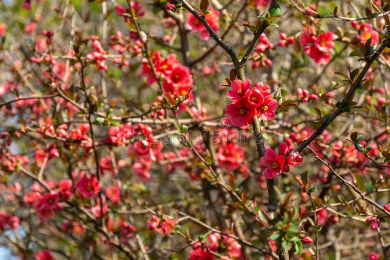 De partij van rode bloemen Japanse kweepeer of Chaenomeles-japonica behandelde takken op vage tuinachtergrond De zonnige dag van  royalty-vrije stock afbeelding