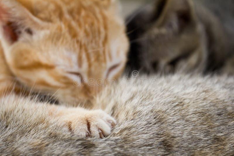 De pasgeboren katjes drinken melk van de borst van de moeder stock afbeeldingen
