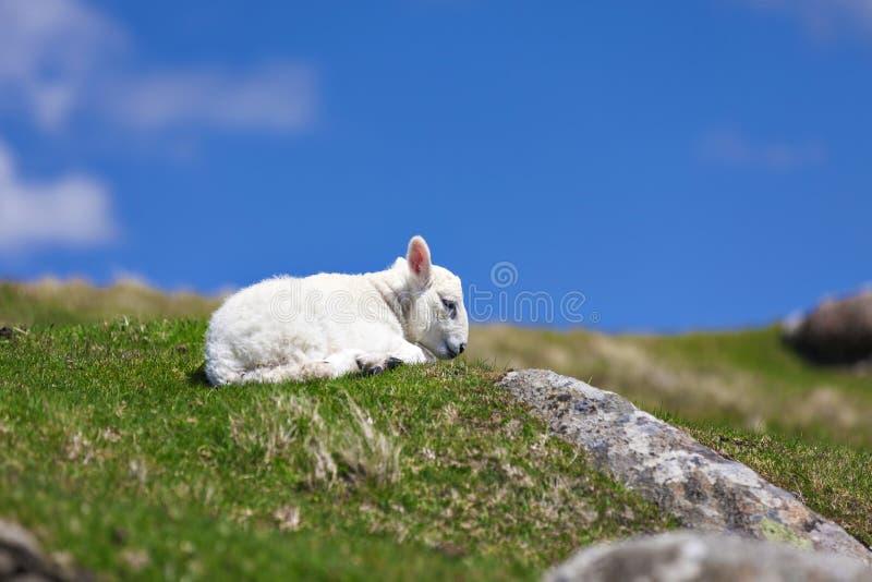 De pasgeboren rust van het babylam op gras royalty-vrije stock afbeeldingen