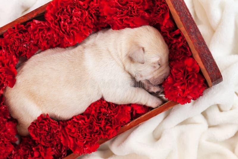 De pasgeboren slaap van de het puppyhond van Labrador in bedhoogtepunt van bloemen stock afbeelding