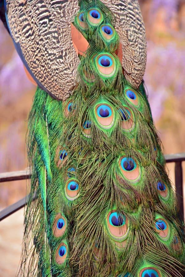 De pauw bevedert dicht omhoog mening royalty-vrije stock afbeelding